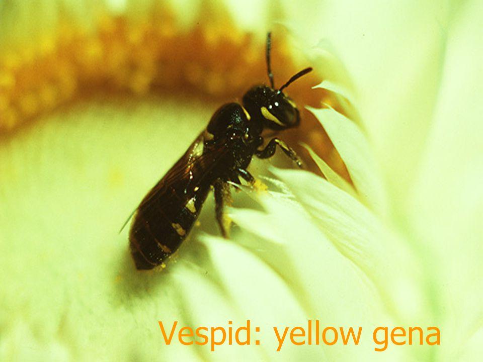 Vespid: mango leaf