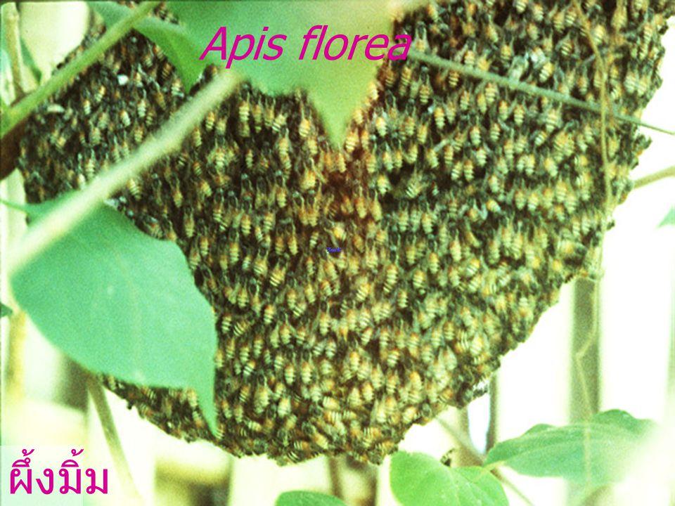 Pupa ดักแด้ผึ้งหลวง Apis dorsata