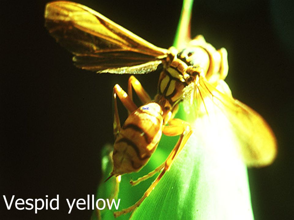 Vespid: yellow gena