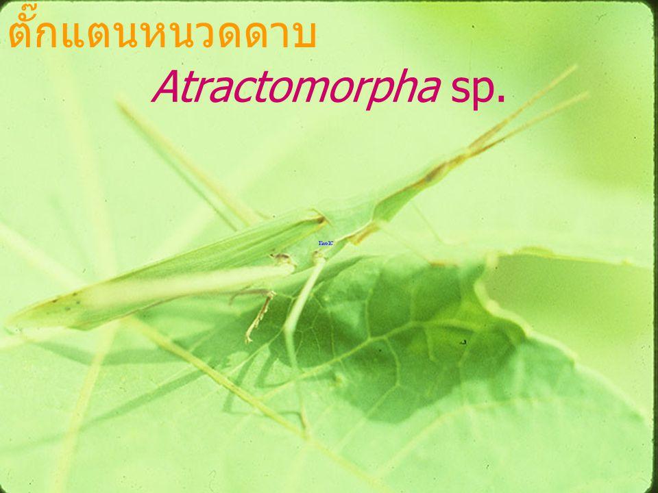 ตั๊กแตนหนวดดาบ Atractomorpha sp.