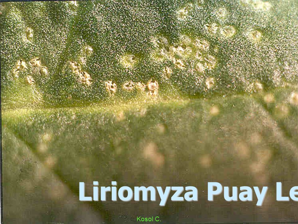 Liriomyza Flsv