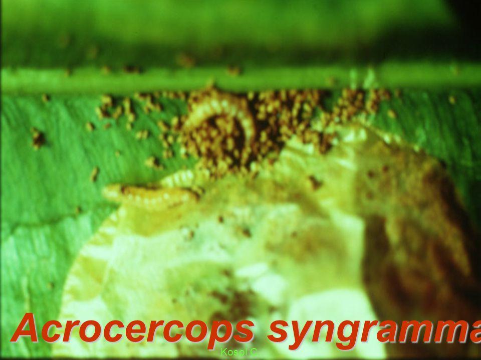 Acrocercops syngramma L mg