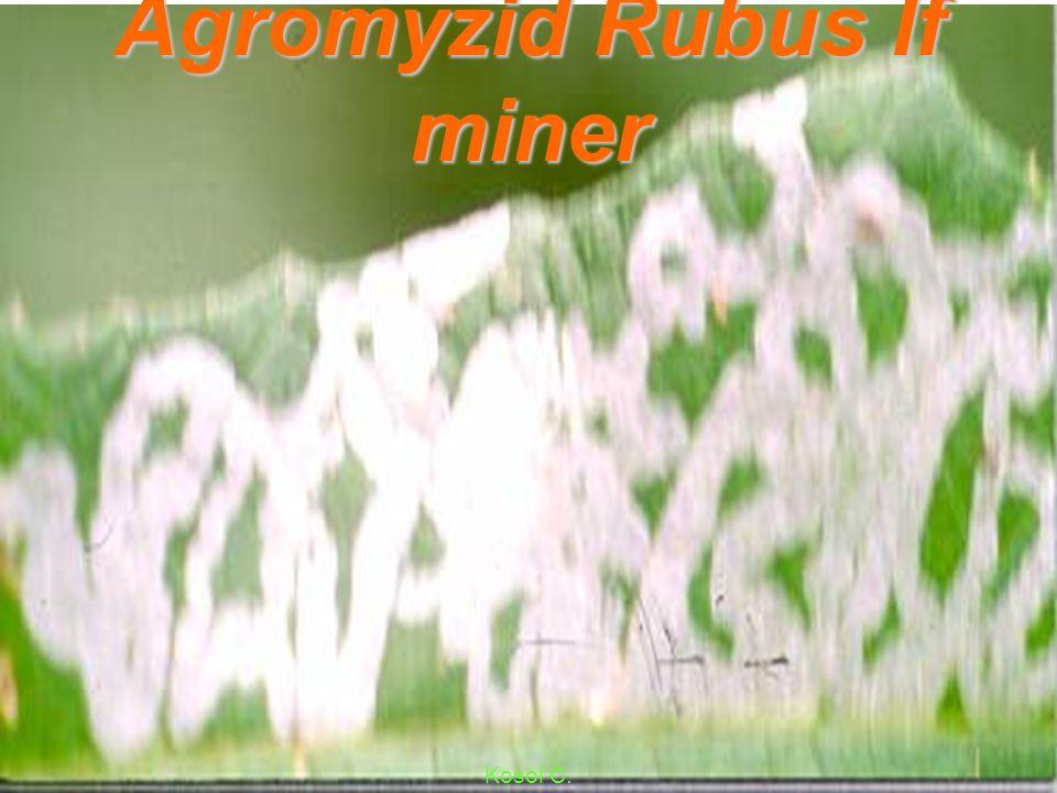 Agromyzid Rubus Intanon lf miner Kosol C.