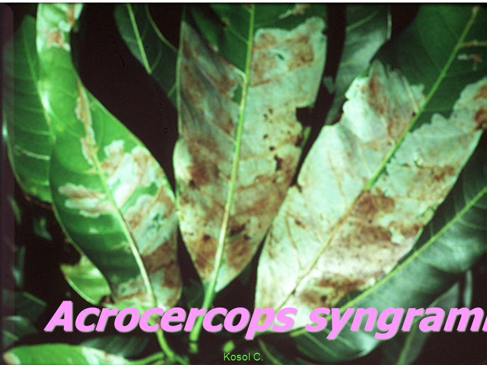 Acrocercops syngramma L mgs Kosol C.