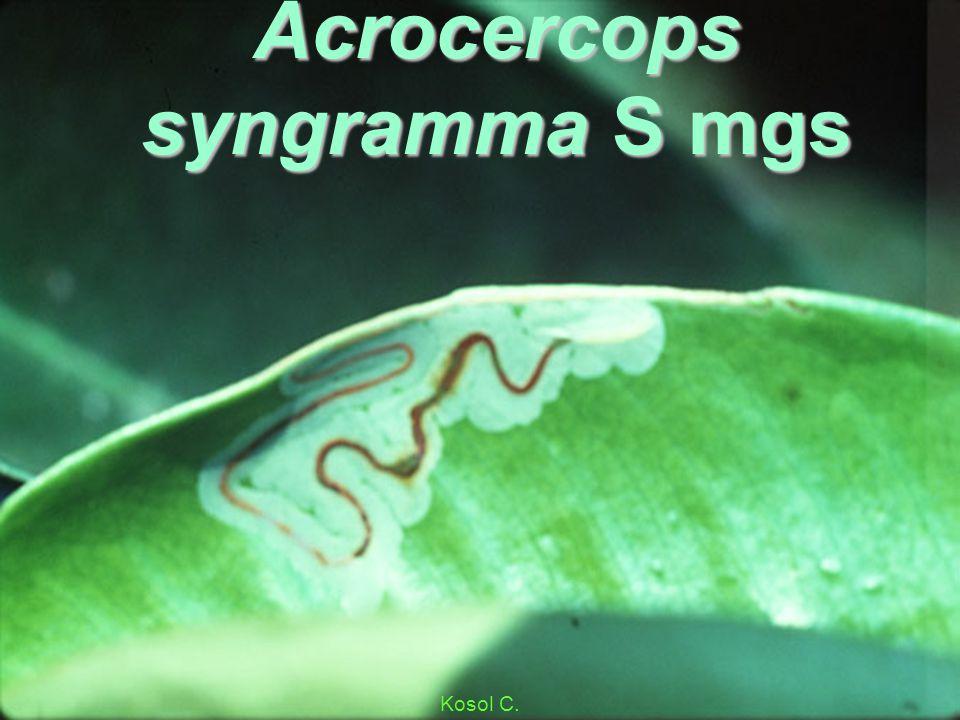 Acrocercops syngramma S mg 3lf