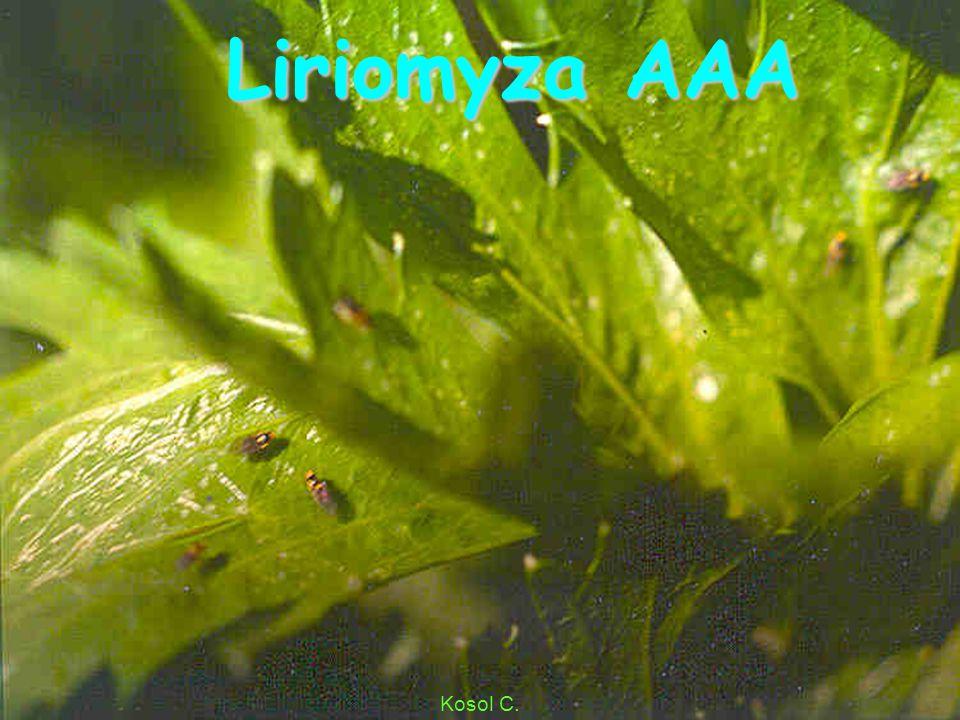 Liriomyza AA