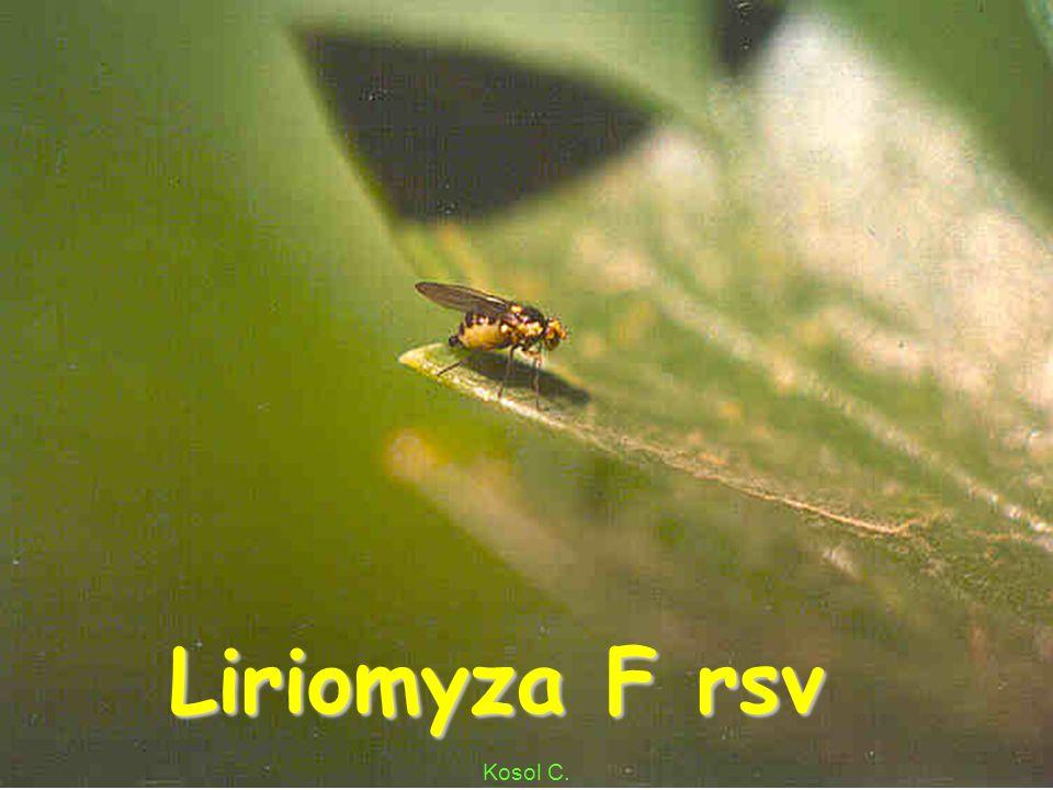 Liriomyza Cellery Mae Poon