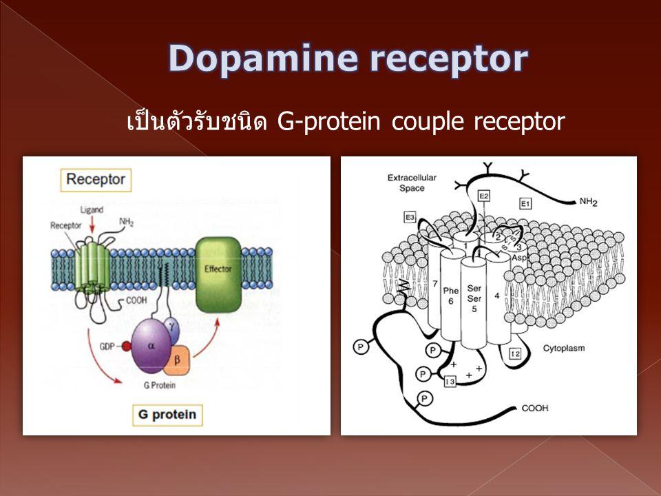 เป็นตัวรับชนิด G-protein couple receptor
