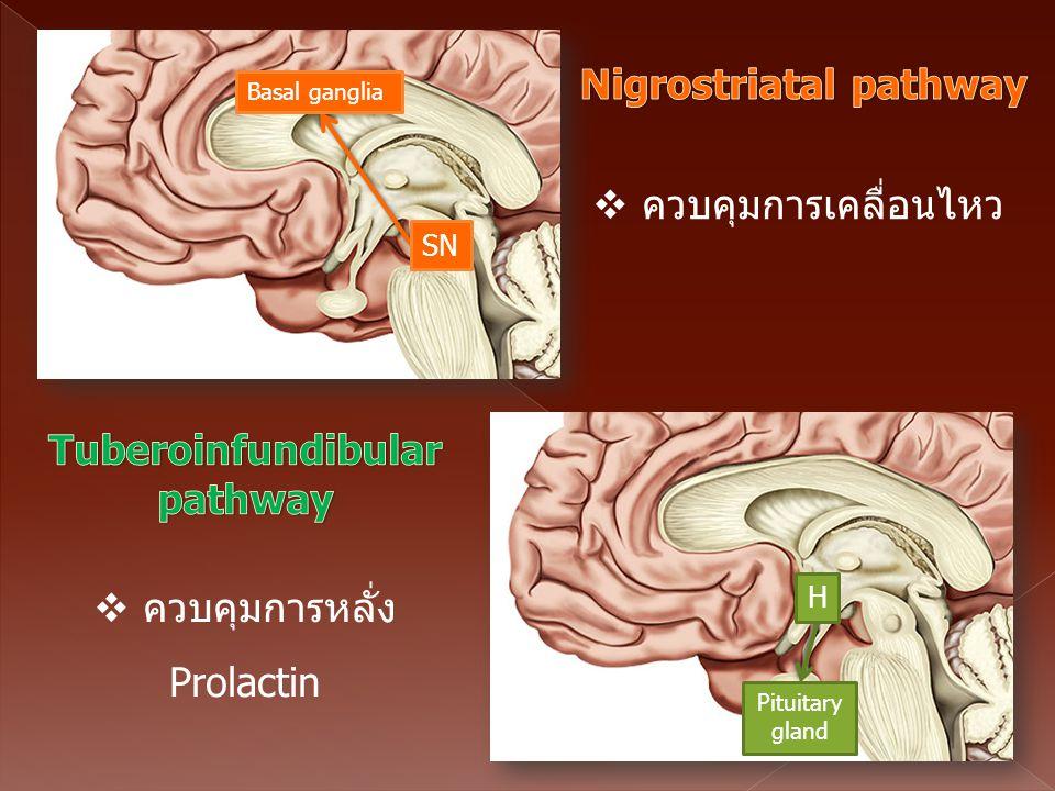 Pituitary gland H Basal ganglia SN  ควบคุมการเคลื่อนไหว  ควบคุมการหลั่ง Prolactin