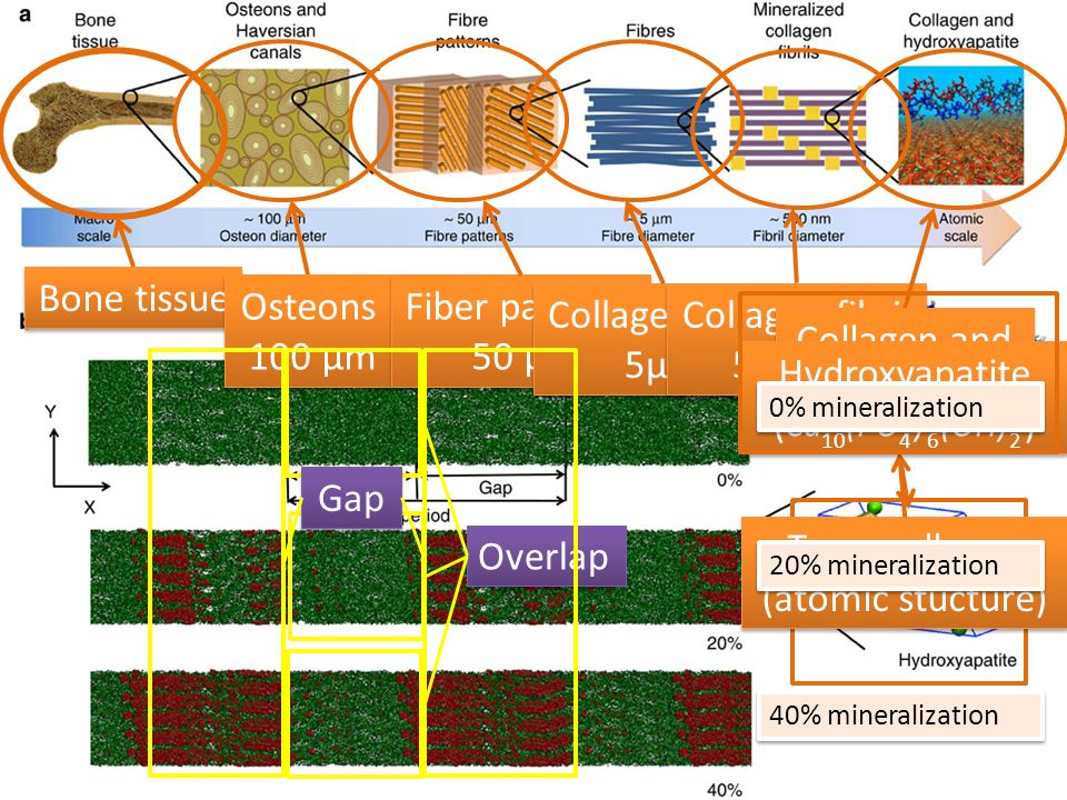 Bone tissue Osteons 100 µm Osteons 100 µm Fiber patterns 50 µm Fiber patterns 50 µm Collagen fiber 5µm Collagen fiber 5µm Collagen fibril 500 nm Collagen fibril 500 nm Collagen and HPA Tropocollagen (atomic stucture) Hydroxyapatite ( Ca (PO ) (OH) ) Hydroxyapatite ( Ca (PO ) (OH) ) 10 4 6 2 0% mineralization 20% mineralization 40% mineralization Overlap Gap