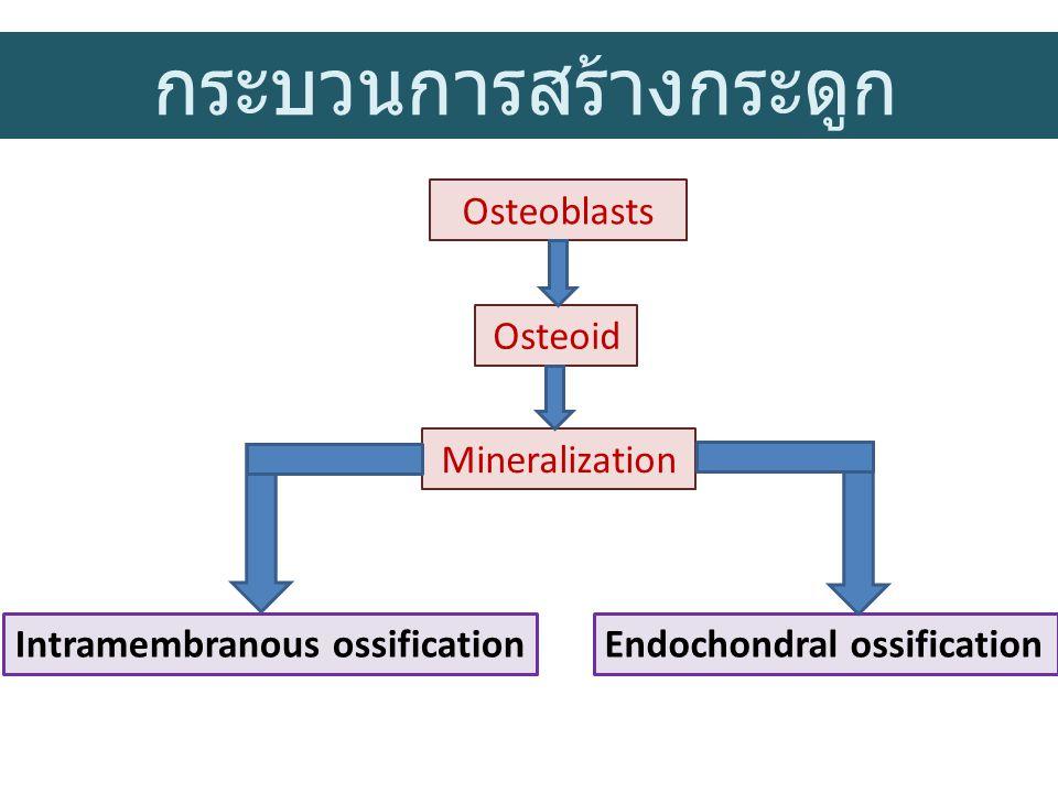 กระบวนการสร้างกระดูก Osteoblasts Osteoid Mineralization Endochondral ossification Intramembranous ossification