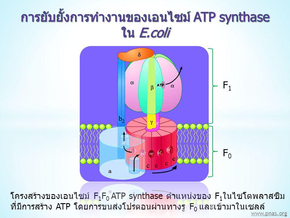 www.pnas.org โครงสร้างของเอนไซม์ F 1 F 0 ATP synthase ตำแหน่งของ F 1 ในไซโตพลาสซึม ที่มีการสร้าง ATP โดยการขนส่งโปรตอนผ่านทางรู F 0 และเข้ามาในเซลล์ F1F1 F0F0