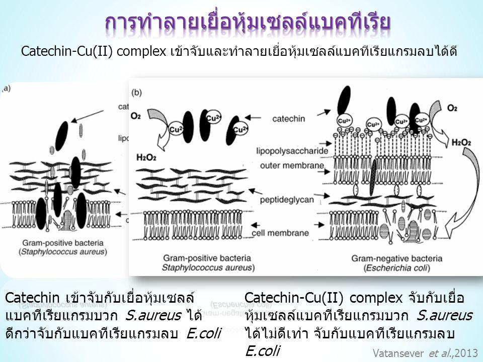 Catechin เข้าจับกับเยื่อหุ้มเซลล์ แบคทีเรียแกรมบวก S.aureus ได้ ดีกว่าจับกับแบคทีเรียแกรมลบ E.coli Catechin-Cu(II) complex จับกับเยื่อ หุ้มเซลล์แบคทีเรียแกรมบวก S.aureus ได้ไม่ดีเท่า จับกับแบคทีเรียแกรมลบ E.coli Catechin-Cu(II) complex เข้าจับและทำลายเยื่อหุ้มเซลล์แบคทีเรียแกรมลบได้ดี Vatansever et al.,2013