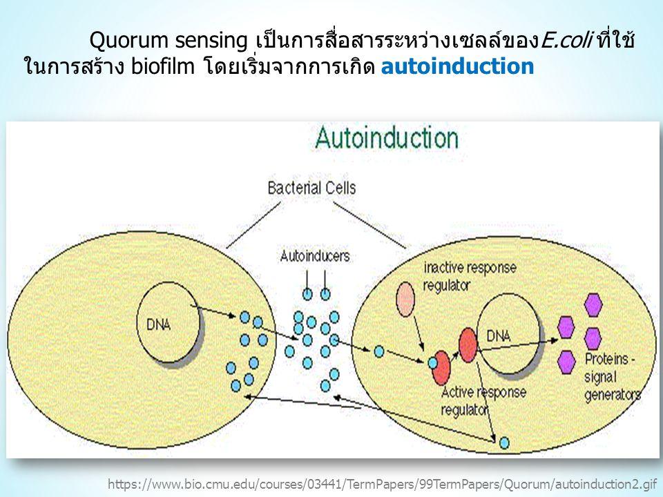 Quorum sensing เป็นการสื่อสารระหว่างเซลล์ของE.coli ที่ใช้ ในการสร้าง biofilm โดยเริ่มจากการเกิด autoinduction https://www.bio.cmu.edu/courses/03441/TermPapers/99TermPapers/Quorum/autoinduction2.gif