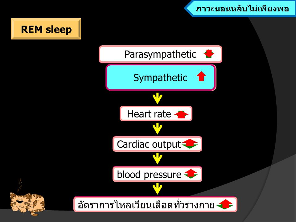 อัตราการไหลเวียนเลือดทั่วร่างกาย blood pressure Cardiac output Heart rate Parasympathetic Sympathetic ลดลง และเพิ่มขึ้นเป็นระยะๆ Heart rate Cardiac output blood pressure อัตราการไหลเวียนเลือดทั่วร่างกาย Sympathetic ขณะนอนหลับ ภาวะนอนหลับไม่เพียงพอ REM sleep