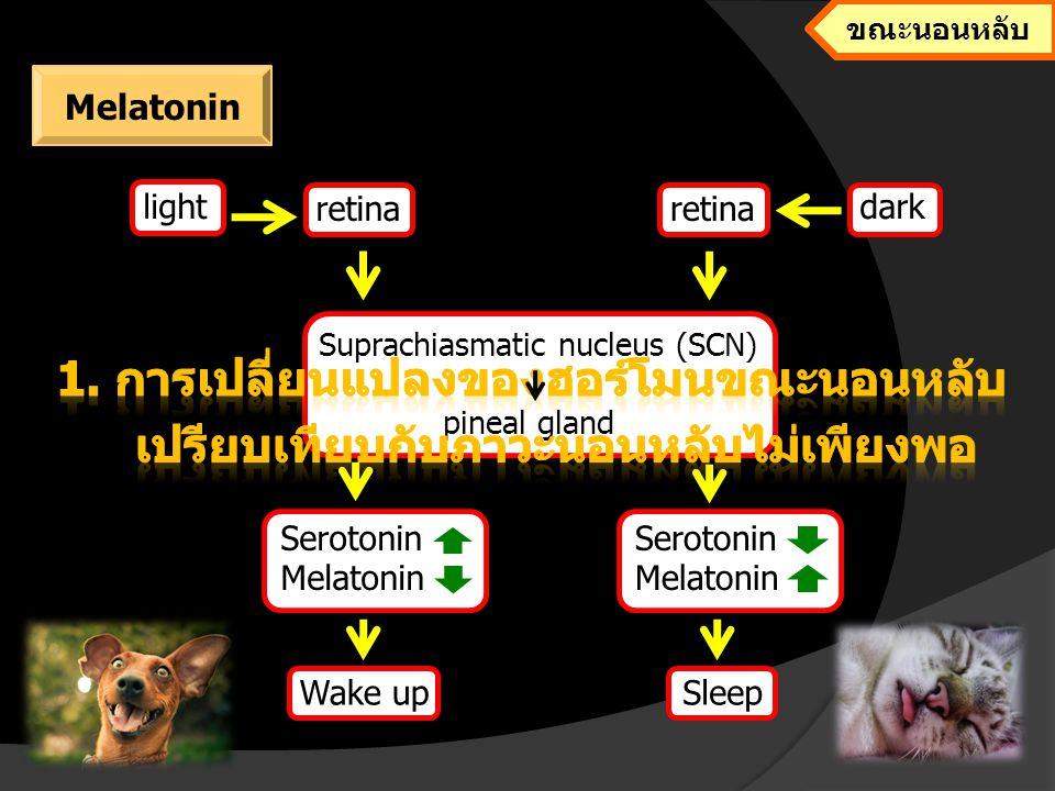 Cause of sleep deprivation - โรค Alzheimer - ฮอร์โมนต่างๆทำงานผิดปกติ - โรคกระดูก - แผลในกระเพาะอาหารและลำไส้ และโรคกรดไหลย้อน - ปริมาณสารอนุมูลอิสระเพิ่มขึ้น ผลกระทบจาก melatonin ที่ลดลง light Serotonin Melatonin Sleep deprivation ภาวะนอนหลับไม่เพียงพอ Melatonin