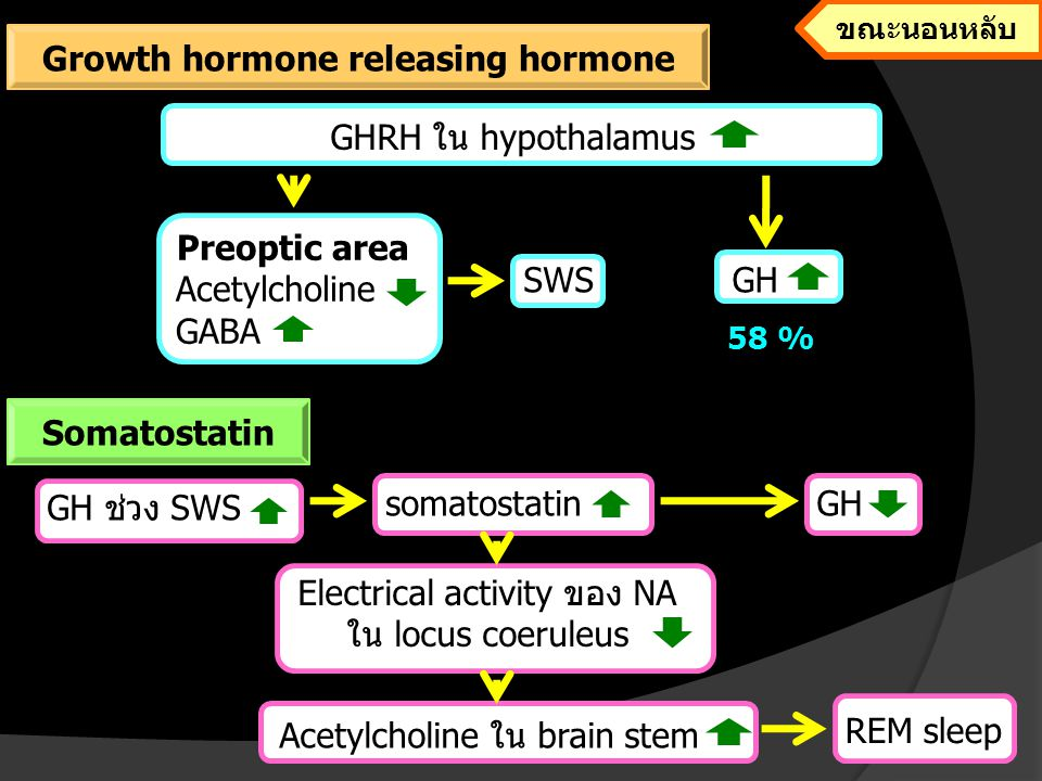 Preoptic area Acetylcholine GABA SWSGH 58 % GHRH ใน hypothalamus GH ช่วง SWS somatostatinGH Electrical activity ของ NA ใน locus coeruleus Acetylcholin