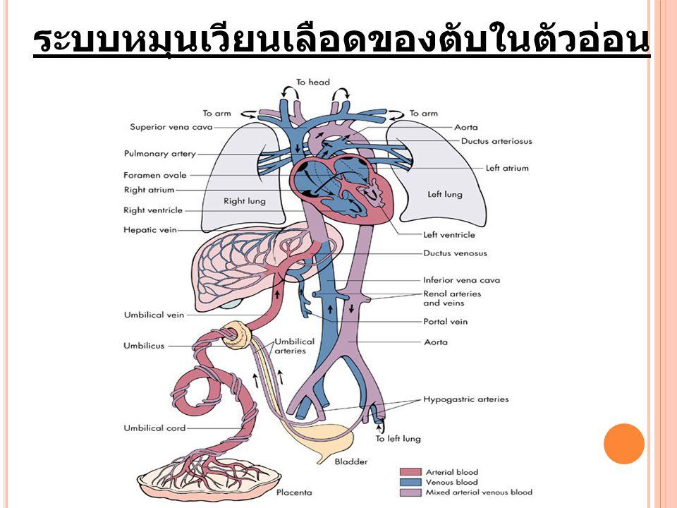ระบบหมุนเวียนเลือดของตับในตัวอ่อน