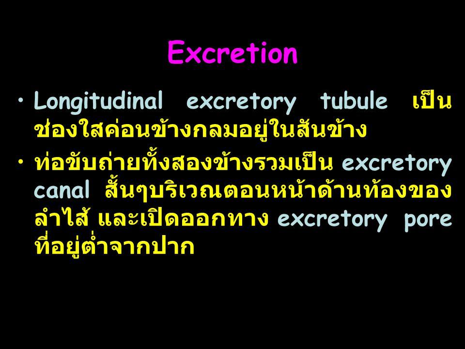 13 Excretion Longitudinal excretory tubule เป็น ช่องใสค่อนข้างกลมอยู่ในสันข้าง ท่อขับถ่ายทั้งสองข้างรวมเป็น excretory canal สั้นๆบริเวณตอนหน้าด้านท้องของ ลำไส้ และเปิดออกทาง excretory pore ที่อยู่ต่ำจากปาก