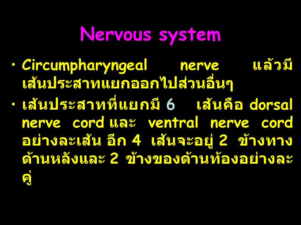 16 Nervous system Circumpharyngeal nerve แล้วมี เส้นประสาทแยกออกไปส่วนอื่นๆ เส้นประสาทที่แยกมี 6 เส้นคือ dorsal nerve cord และ ventral nerve cord อย่างละเส้น อีก 4 เส้นจะอยู่ 2 ข้างทาง ด้านหลังและ 2 ข้างของด้านท้องอย่างละ คู่