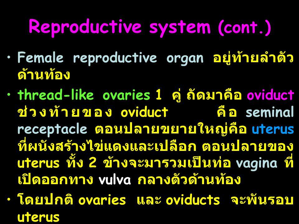 20 Reproductive system (cont.) Female reproductive organ อยู่ท้ายลำตัว ด้านท้อง thread-like ovaries 1 คู่ ถัดมาคือ oviduct ช่วงท้ายของ oviduct คือ seminal receptacle ตอนปลายขยายใหญ่คือ uterus ที่ผนังสร้างไข่แดงและเปลือก ตอนปลายของ uterus ทั้ง 2 ข้างจะมารวมเป็นท่อ vagina ที่ เปิดออกทาง vulva กลางตัวด้านท้อง โดยปกติ ovaries และ oviducts จะพันรอบ uterus
