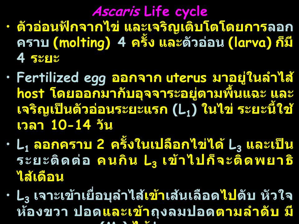 31 Ascaris Life cycle ตัวอ่อนฟักจากไข่ และเจริญเติบโตโดยการลอก คราบ (molting) 4 ครั้ง และตัวอ่อน (larva) ก็มี 4 ระยะ Fertilized egg ออกจาก uterus มาอยู่ในลำไส้ host โดยออกมากับอุจจาระอยู่ตามพื้นแฉะ และ เจริญเป็นตัวอ่อนระยะแรก (L 1 ) ในไข่ ระยะนี้ใช้ เวลา 10-14 วัน L 1 ลอกคราบ 2 ครั้งในเปลือกไข่ได้ L 3 และเป็น ระยะติดต่อ คนกิน L 3 เข้าไปก็จะติดพยาธิ ไส้เดือน L 3 เจาะเข้าเยื่อบุลำไส้เข้าเส้นเลือดไปตับ หัวใจ ห้องขวา ปอดและเข้าถุงลมปอดตามลำดับ มี การลอกคราบ (M 3 ) ได้ L 4 L 4 ไปหลอดลม คอหอยและถูกกลืนลงทางเดิน อาหารไปลำไส้เล็ก มีการลอกคราบครั้งสุดท้าย (M 4 ) ได้ adult ( จาก L 3 ถึงตัวเต็มวัยใช้เวลา 10 วัน )