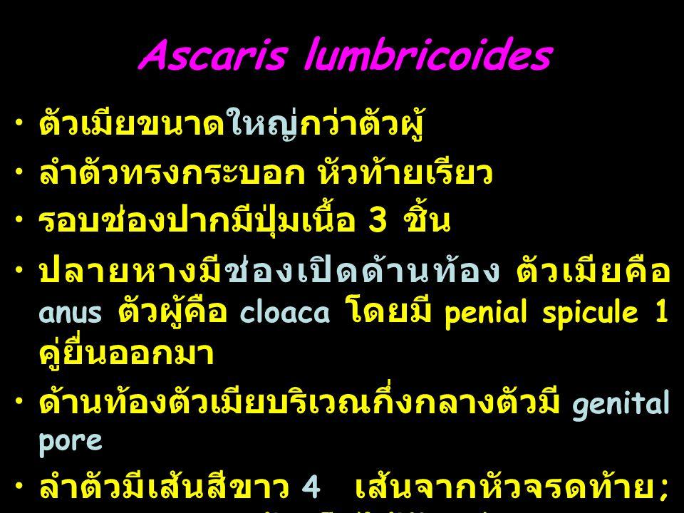 6 Ascaris lumbricoides ตัวเมียขนาดใหญ่กว่าตัวผู้ ลำตัวทรงกระบอก หัวท้ายเรียว รอบช่องปากมีปุ่มเนื้อ 3 ชิ้น ปลายหางมีช่องเปิดด้านท้อง ตัวเมียคือ anus ตัวผู้คือ cloaca โดยมี penial spicule 1 คู่ยื่นออกมา ด้านท้องตัวเมียบริเวณกึ่งกลางตัวมี genital pore ลำตัวมีเส้นสีขาว 4 เส้นจากหัวจรดท้าย ; lateral line 2 เส้นเห็นได้ชัดกว่า dorsal line และ ventral line