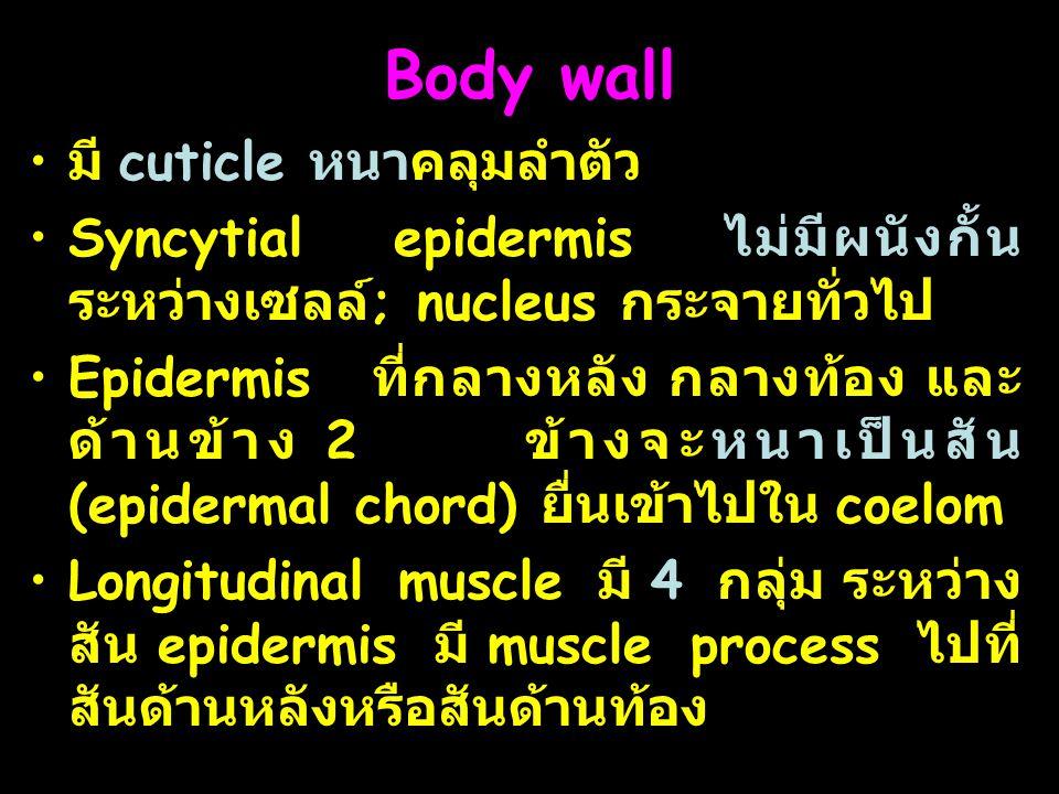 8 Body wall มี cuticle หนาคลุมลำตัว Syncytial epidermis ไม่มีผนังกั้น ระหว่างเซลล์ ; nucleus กระจายทั่วไป Epidermis ที่กลางหลัง กลางท้อง และ ด้านข้าง 2 ข้างจะหนาเป็นสัน (epidermal chord) ยื่นเข้าไปใน coelom Longitudinal muscle มี 4 กลุ่ม ระหว่าง สัน epidermis มี muscle process ไปที่ สันด้านหลังหรือสันด้านท้อง
