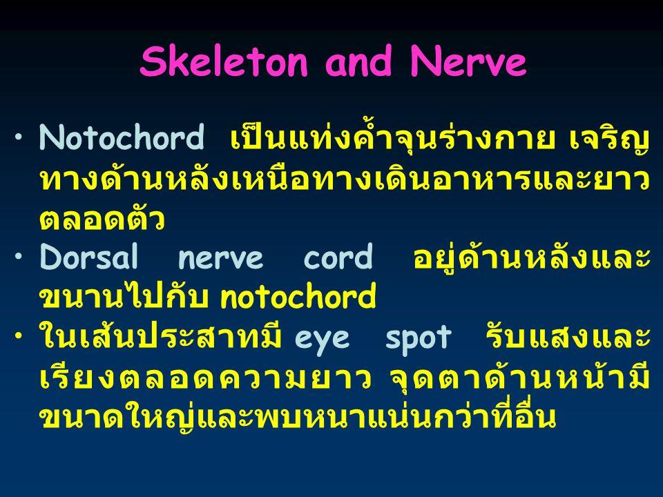 Skeleton and Nerve Notochord เป็นแท่งค้ำจุนร่างกาย เจริญ ทางด้านหลังเหนือทางเดินอาหารและยาว ตลอดตัว Dorsal nerve cord อยู่ด้านหลังและ ขนานไปกับ notochord ในเส้นประสาทมี eye spot รับแสงและ เรียงตลอดความยาว จุดตาด้านหน้ามี ขนาดใหญ่และพบหนาแน่นกว่าที่อื่น