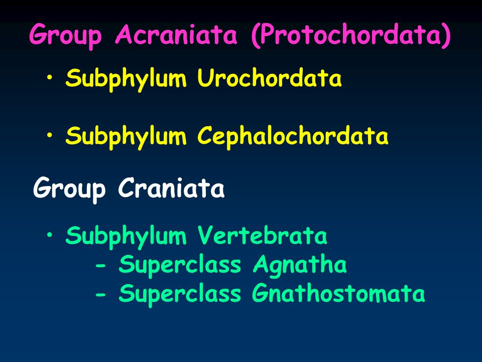 Group Acraniata (Protochordata) Subphylum Urochordata Subphylum Cephalochordata Group Craniata Subphylum Vertebrata - Superclass Agnatha - Superclass Gnathostomata