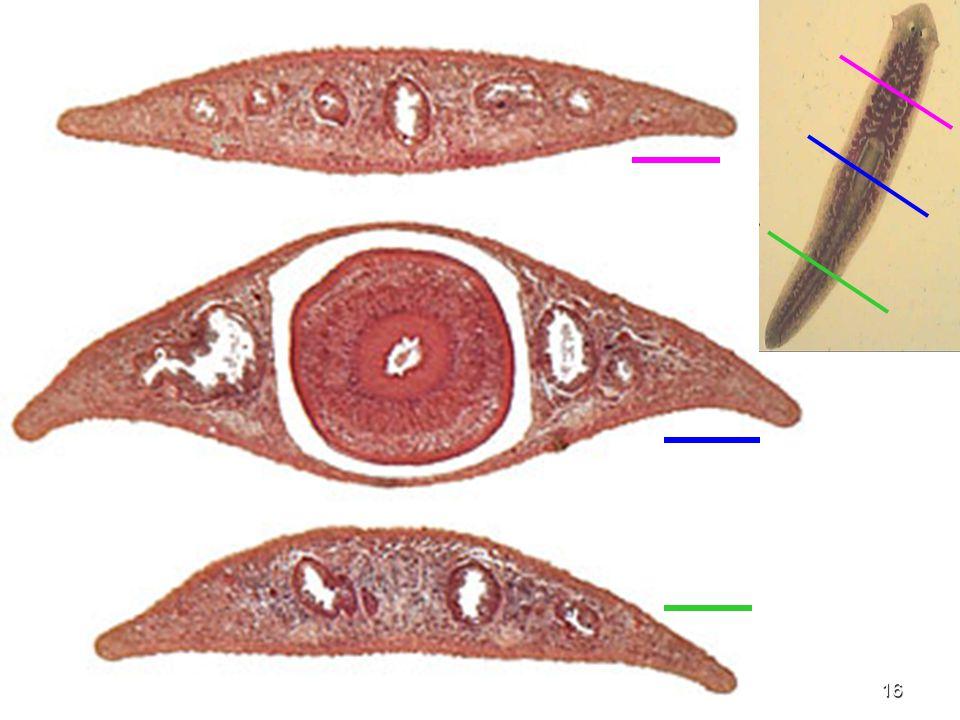 17 Anterior intestinal caecum Pharynx Posterior intestinal caeca