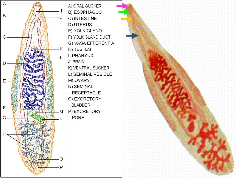 24 Hermaphrodite ปฏิสนธิข้ามตัว Hermaphrodite ปฏิสนธิข้ามตัว Male organs : testis แตกแขนง 1 คู่ Male organs : testis แตกแขนง 1 คู่ : vas efferens 2 ท่อ รวม เป็น vas deferens ตอนปลายพองเป็น seminal vesicle ejaculatory duct : vas efferens 2 ท่อ รวม เป็น vas deferens ตอนปลายพองเป็น seminal vesicle ejaculatory duct เปิดออกที่ genital pore อยู่เหนือ ventral sucker เปิดออกที่ genital pore อยู่เหนือ ventral sucker