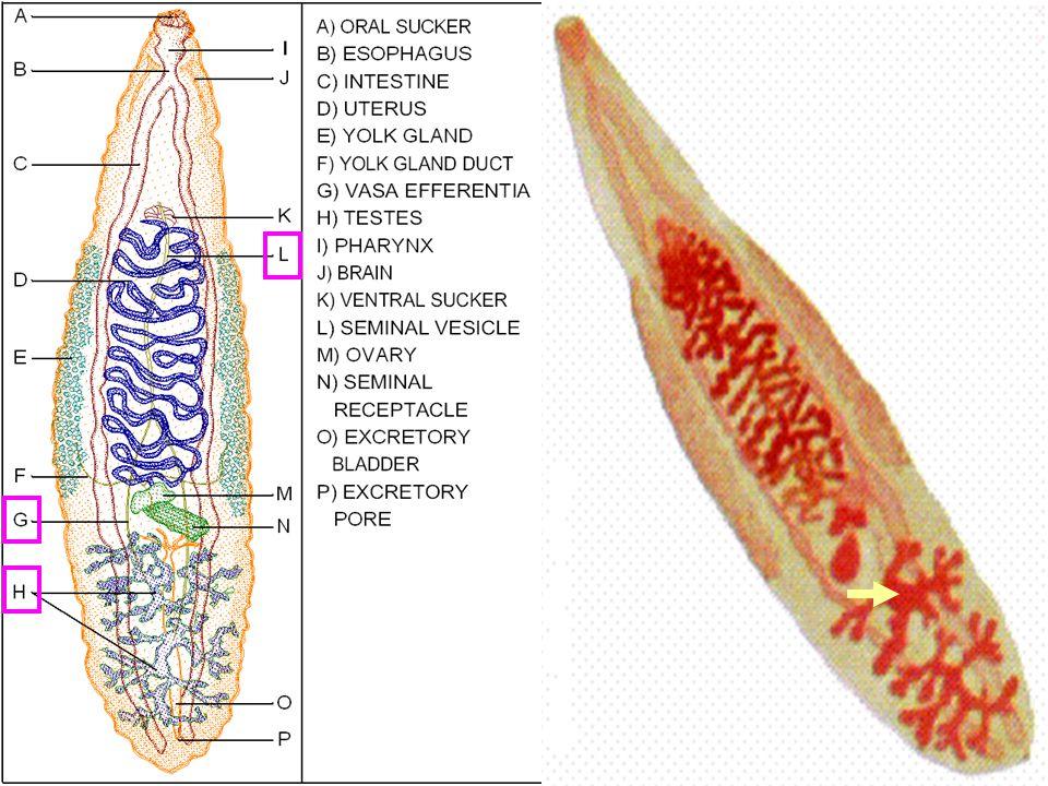 26 Female organs มี Ootype เป็นศูนย์กลางที่ ท่อต่างๆมาเชื่อมต่อ Female organs มี Ootype เป็นศูนย์กลางที่ ท่อต่างๆมาเชื่อมต่อ : oviduct รับไข่จาก ovary : yolk duct รับสารสร้างเปลือกไข่ และ yolk จาก yolk gland (vitellaria) : Mehlis' gland สร้างสารหล่อลื่นมดลูก เวลาไข่เคลื่อนที่ : seminal receptacle รับและเก็บอสุจิ มี Laurer's canal เปิดออกด้านหลัง : uterus อยู่เหนือ sex organs อื่นๆ ใช้ เก็บไข่ที่ปฏิสนธิแล้ว เปิดออกที่ genital pore
