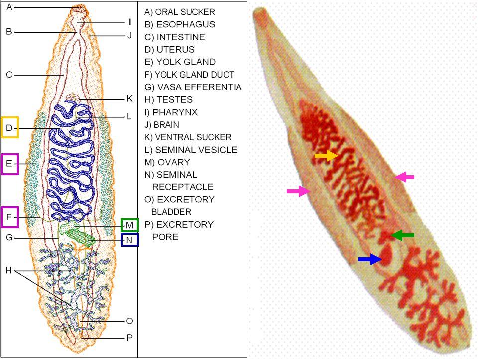 28 Sperm เข้าทาง uterus และเป็นการผสมข้าม ตัว แต่ปฏิสนธิภายในบริเวณ oviduct Sperm เข้าทาง uterus และเป็นการผสมข้าม ตัว แต่ปฏิสนธิภายในบริเวณ oviduct Fertilized egg จะได้รับ yolk และสารเปลือก ไข่ แล้วไปเก็บที่ uterus Fertilized egg จะได้รับ yolk และสารเปลือก ไข่ แล้วไปเก็บที่ uterus Fertilized egg ออกมากับอุจจาระของ host แล้วมีหอยน้ำจืดกินเข้าไป miracidium sporocyst Fertilized egg ออกมากับอุจจาระของ host แล้วมีหอยน้ำจืดกินเข้าไป miracidium sporocyst cercaria redia Cercaria ออกจากหอยเข้าไปในปลา เกิดระยะ metacercaria แล้วมนุษย์ก็กินปลาที่มี cyst ของพยาธิ Cercaria ออกจากหอยเข้าไปในปลา เกิดระยะ metacercaria แล้วมนุษย์ก็กินปลาที่มี cyst ของพยาธิ Testis ของ Opisthorchis viverrini ไม่แตก แขนง และมีวงชีวิตคล้าย Clonorchis sinensis Testis ของ Opisthorchis viverrini ไม่แตก แขนง และมีวงชีวิตคล้าย Clonorchis sinensis