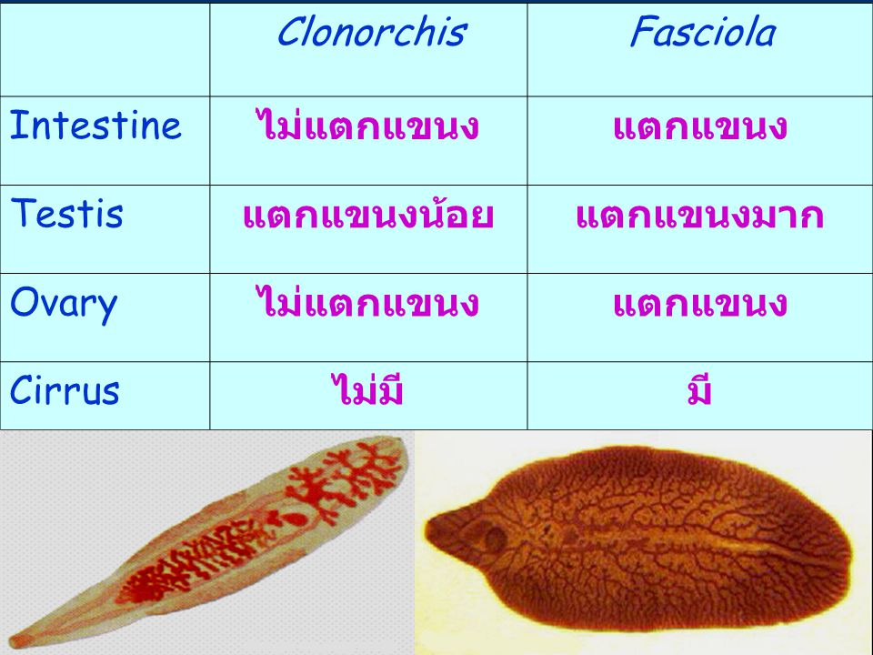 37 ClonorchisFasciola Intestine ไม่แตกแขนงแตกแขนง Testis แตกแขนงน้อยแตกแขนงมาก Ovary ไม่แตกแขนงแตกแขนง Cirrus ไม่มีมี
