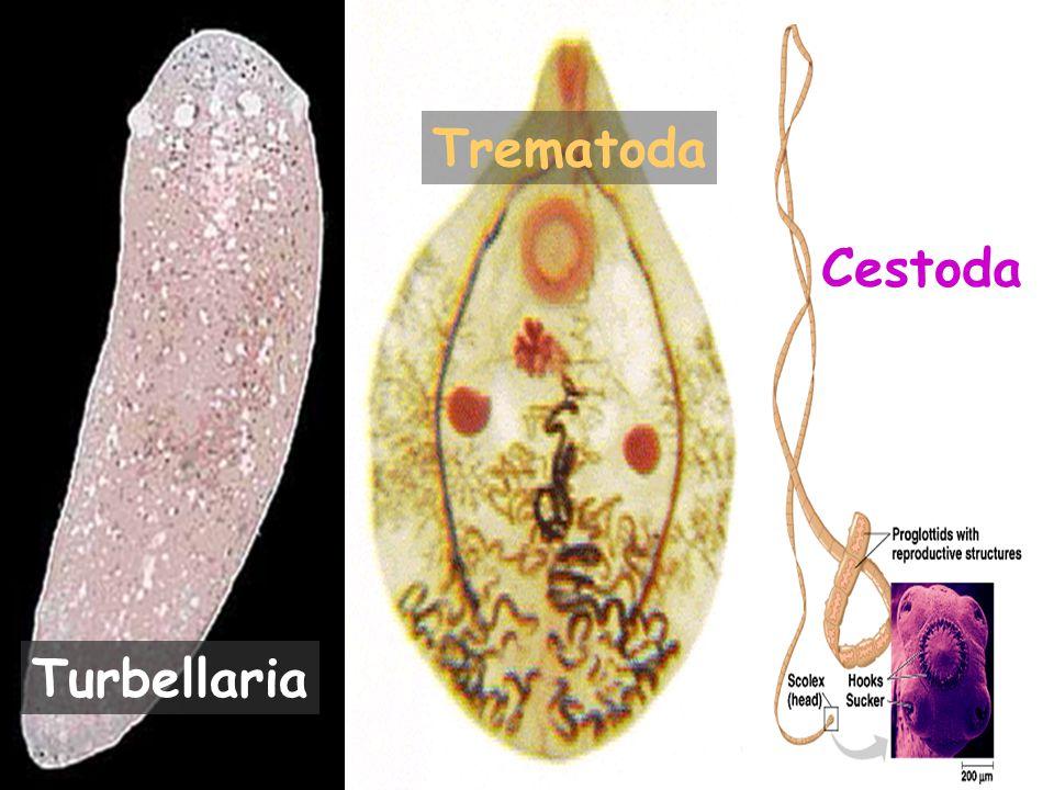 4 Turbellaria Trematoda Cestoda