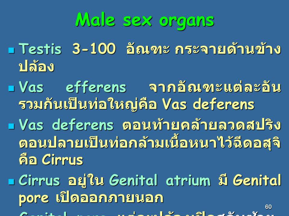 60 Male sex organs Testis 3-100 อัณฑะ กระจายด้านข้าง ปล้อง Testis 3-100 อัณฑะ กระจายด้านข้าง ปล้อง Vas efferens จากอัณฑะแต่ละอัน รวมกันเป็นท่อใหญ่คือ Vas deferens Vas efferens จากอัณฑะแต่ละอัน รวมกันเป็นท่อใหญ่คือ Vas deferens Vas deferens ตอนท้ายคล้ายลวดสปริง ตอนปลายเป็นท่อกล้ามเนื้อหนาไว้ฉีดอสุจิ คือ Cirrus Vas deferens ตอนท้ายคล้ายลวดสปริง ตอนปลายเป็นท่อกล้ามเนื้อหนาไว้ฉีดอสุจิ คือ Cirrus Cirrus อยู่ใน Genital atrium มี Genital pore เปิดออกภายนอก Cirrus อยู่ใน Genital atrium มี Genital pore เปิดออกภายนอก Genital pore แต่ละปล้องเปิดสลับซ้าย - ขวาสลับกัน Genital pore แต่ละปล้องเปิดสลับซ้าย - ขวาสลับกัน