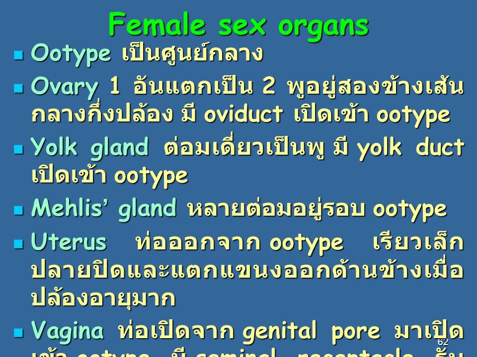 62 Female sex organs Ootype เป็นศูนย์กลาง Ootype เป็นศูนย์กลาง Ovary 1 อันแตกเป็น 2 พูอยู่สองข้างเส้น กลางกึ่งปล้อง มี oviduct เปิดเข้า ootype Ovary 1 อันแตกเป็น 2 พูอยู่สองข้างเส้น กลางกึ่งปล้อง มี oviduct เปิดเข้า ootype Yolk gland ต่อมเดี่ยวเป็นพู มี yolk duct เปิดเข้า ootype Yolk gland ต่อมเดี่ยวเป็นพู มี yolk duct เปิดเข้า ootype Mehlis ' gland หลายต่อมอยู่รอบ ootype Mehlis ' gland หลายต่อมอยู่รอบ ootype Uterus ท่อออกจาก ootype เรียวเล็ก ปลายปิดและแตกแขนงออกด้านข้างเมื่อ ปล้องอายุมาก Uterus ท่อออกจาก ootype เรียวเล็ก ปลายปิดและแตกแขนงออกด้านข้างเมื่อ ปล้องอายุมาก Vagina ท่อเปิดจาก genital pore มาเปิด เข้า ootype มี seminal receptacle รับ อสุจิ Vagina ท่อเปิดจาก genital pore มาเปิด เข้า ootype มี seminal receptacle รับ อสุจิ