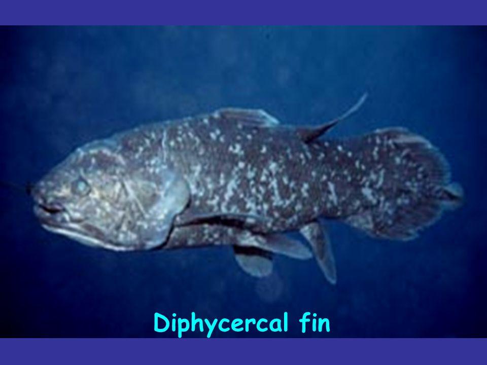 Diphycercal fin