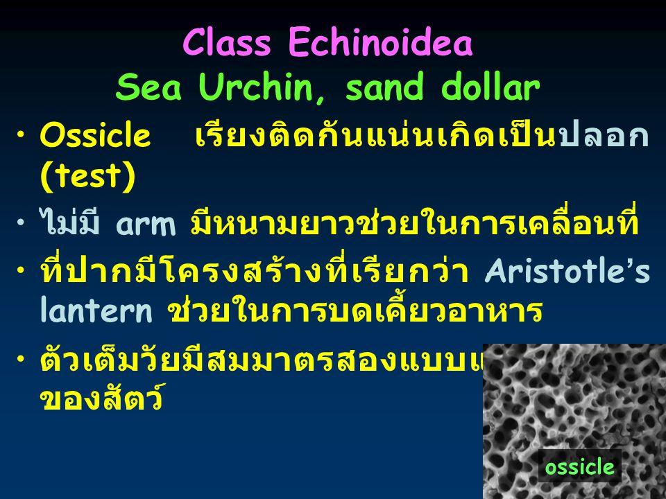 14 Class Echinoidea Sea Urchin, sand dollar Ossicle เรียงติดกันแน่นเกิดเป็นปลอก (test) ไม่มี arm มีหนามยาวช่วยในการเคลื่อนที่ ที่ปากมีโครงสร้างที่เรีย