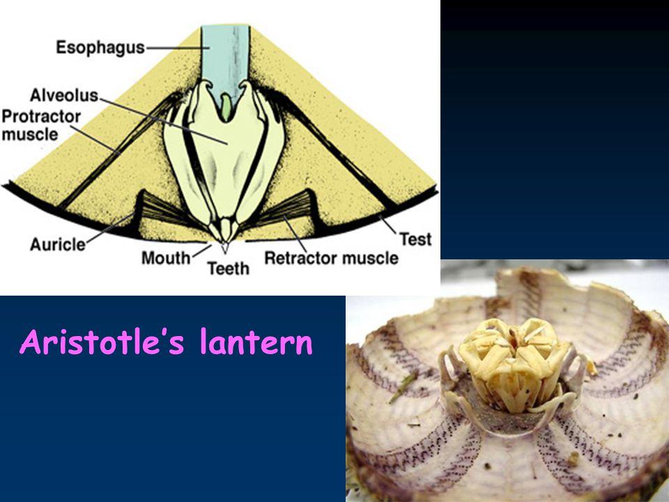 18 Aristotle's lantern