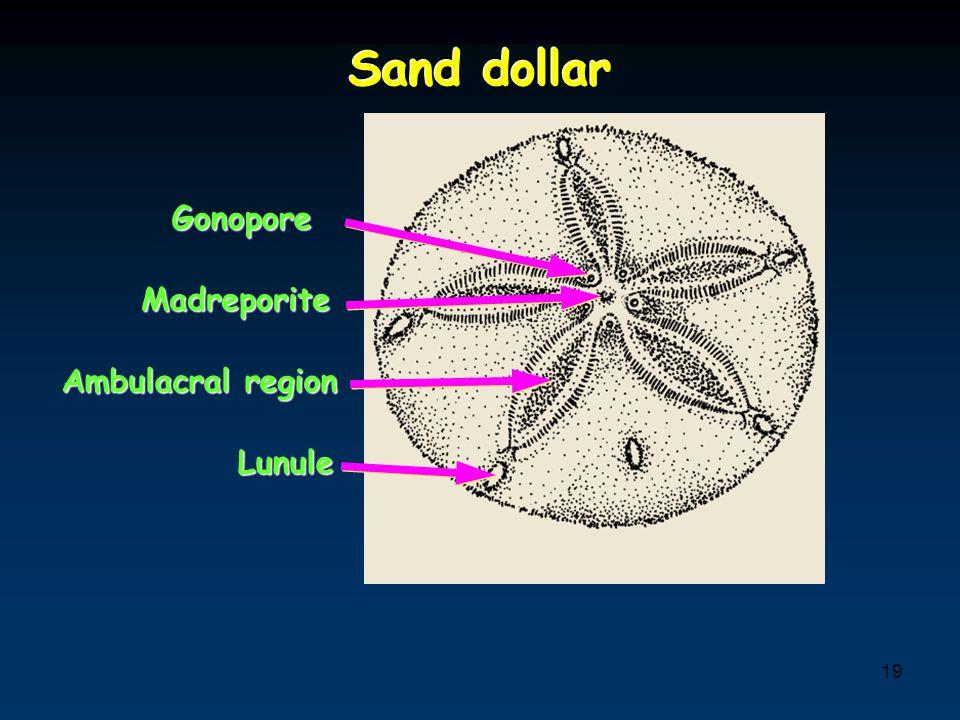 19 Sand dollar MadreporiteMadreporite GonoporeGonopore Ambulacral region LunuleLunule