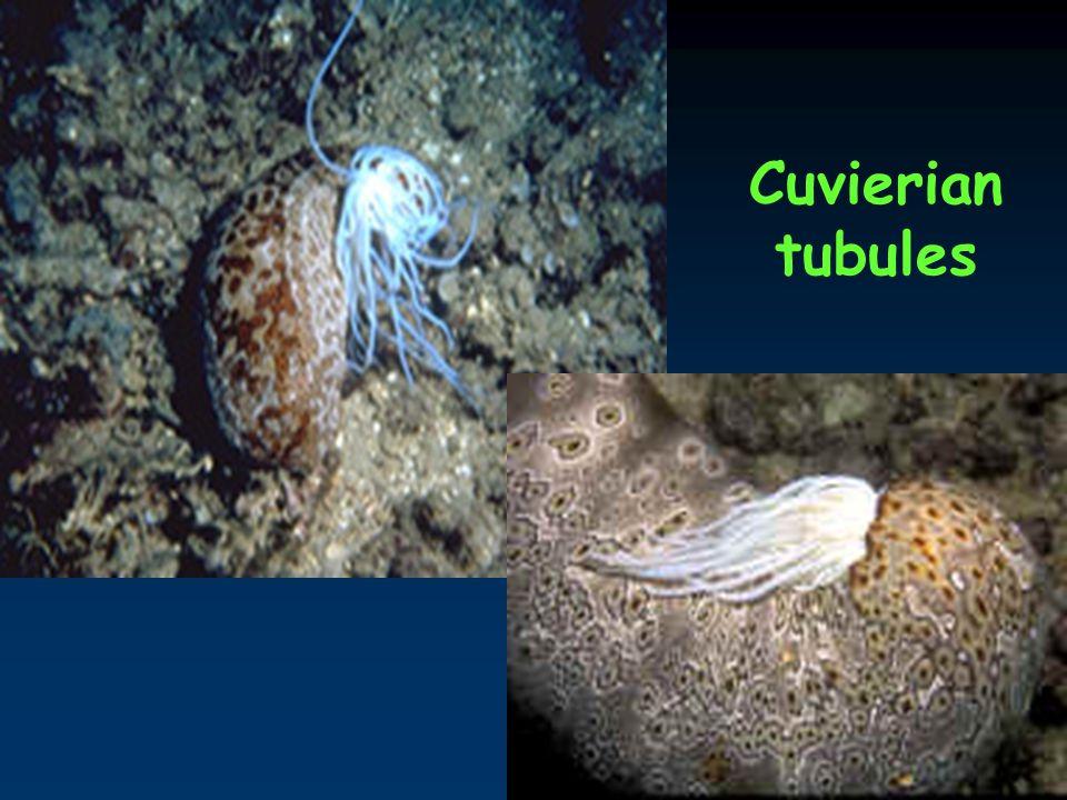 25 Cuvierian tubules