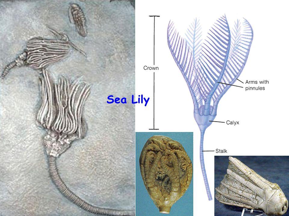 31 Sea Lily