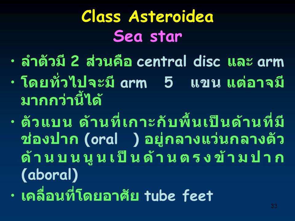 33 Class Asteroidea Sea star ลำตัวมี 2 ส่วนคือ central disc และ arm โดยทั่วไปจะมี arm 5 แขน แต่อาจมี มากกว่านี้ได้ ตัวแบน ด้านที่เกาะกับพื้นเป็นด้านที