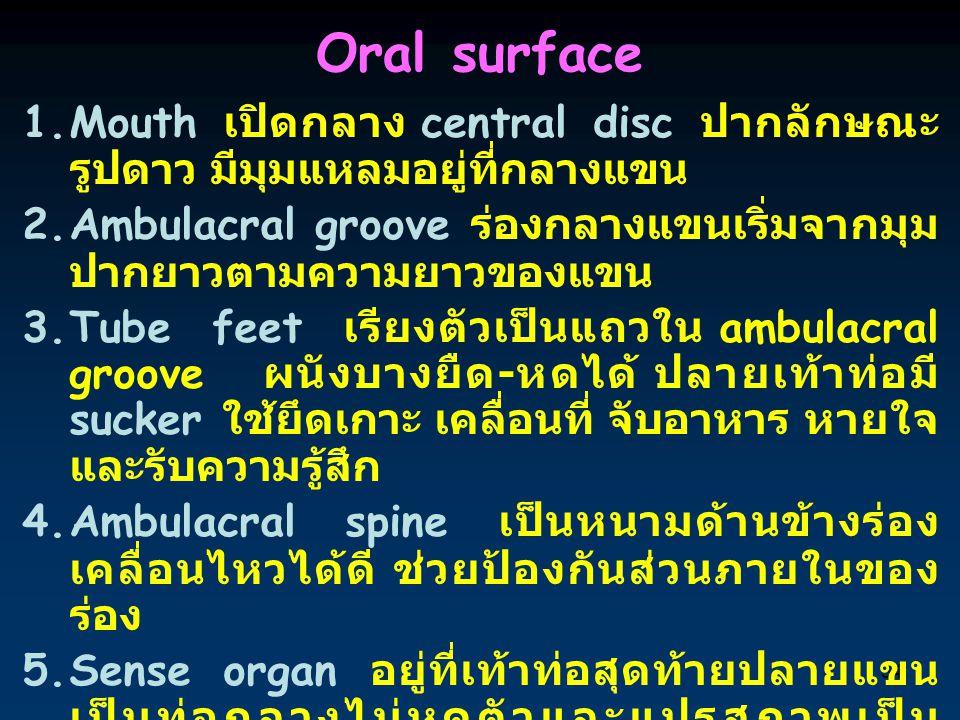 34 Oral surface 1.Mouth เปิดกลาง central disc ปากลักษณะ รูปดาว มีมุมแหลมอยู่ที่กลางแขน 2.Ambulacral groove ร่องกลางแขนเริ่มจากมุม ปากยาวตามความยาวของแ