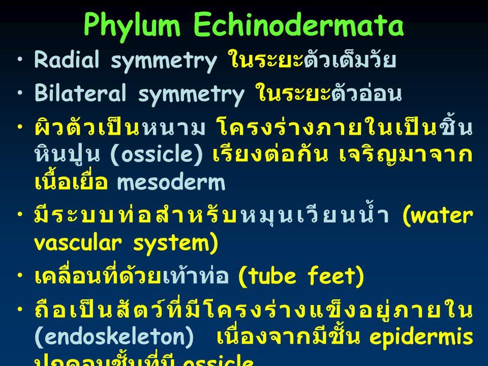 5 Phylum Echinodermata Radial symmetry ในระยะตัวเต็มวัย Bilateral symmetry ในระยะตัวอ่อน ผิวตัวเป็นหนาม โครงร่างภายในเป็นชิ้น หินปูน (ossicle) เรียงต่