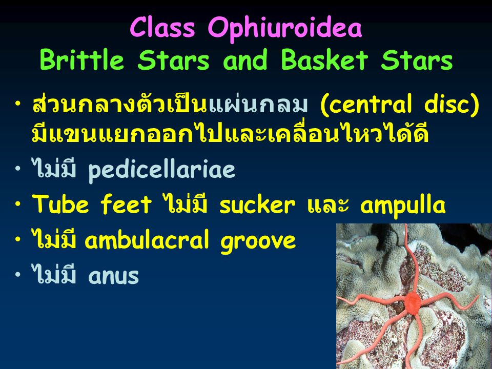 9 Class Ophiuroidea Brittle Stars and Basket Stars ส่วนกลางตัวเป็นแผ่นกลม (central disc) มีแขนแยกออกไปและเคลื่อนไหวได้ดี ไม่มี pedicellariae Tube feet