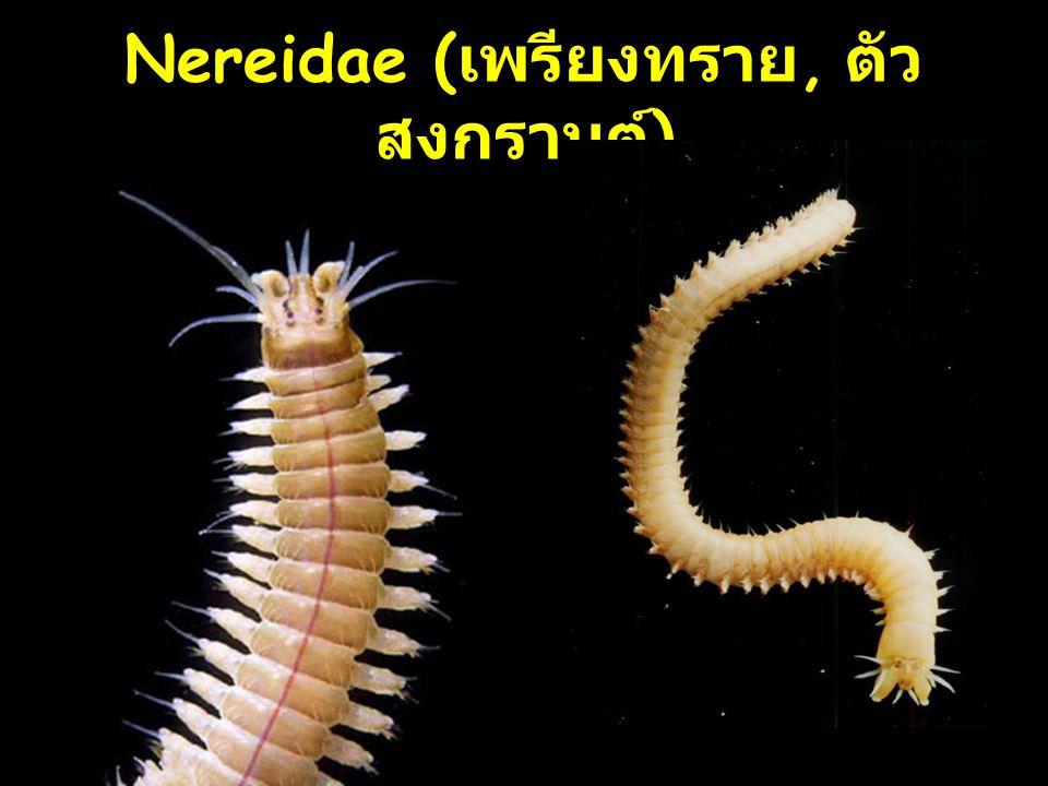 11 Nereidae ( เพรียงทราย, ตัว สงกรานต์ )