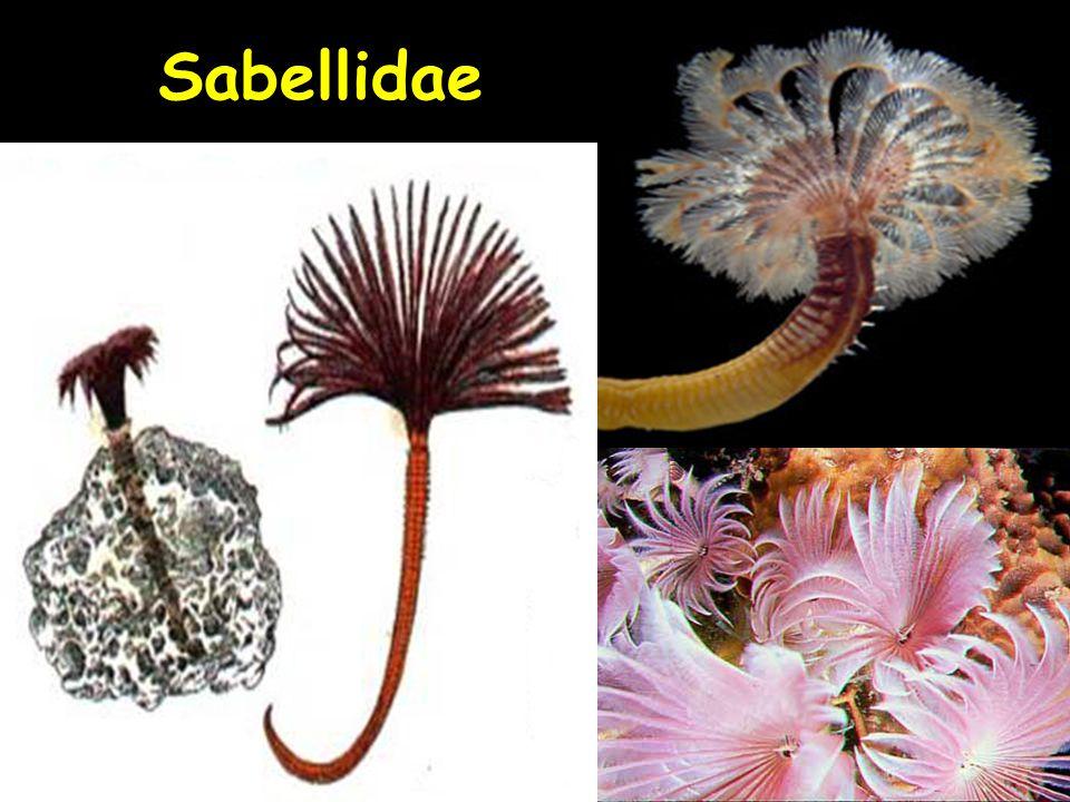 12 Sabellidae